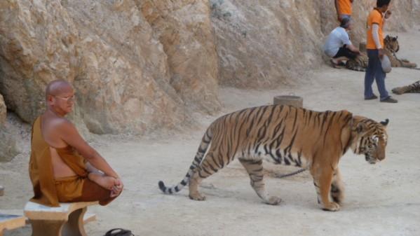 P1050560 Tigres Dumnoen Saduak