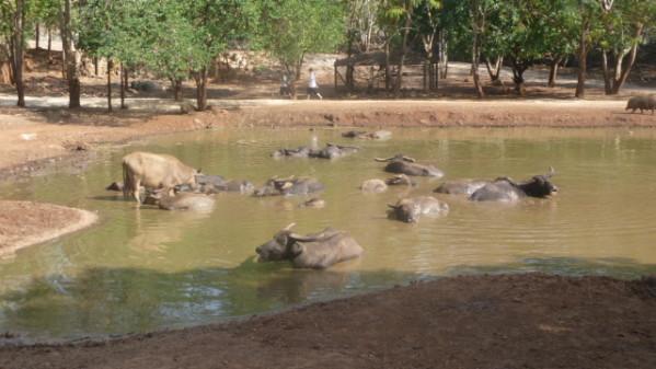 P1050563 Tigres Dumnoen Saduak